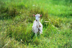 The goat is grazed on a green meadow Royalty Free Stock Images