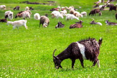 The goat is grazed. The goat is grazed on a lawn and eats a green grass Stock Photos