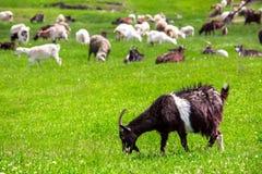 The goat is grazed. Stock Photos