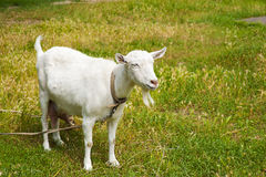 Goat grazed on a meadow Royalty Free Stock Photo