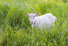 Goat grazed on a meadow Stock Photos