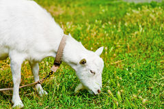 Goat grazed on a meadow and eating Stock Photography