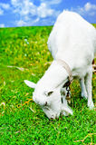Goat grazed on a meadow and eating Stock Photo