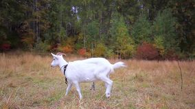 Goat is grazed on a meadow in the fall stock footage
