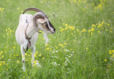 Goat grazed on a meadow Stock Images