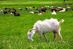 The goat is grazed. The white Goat with horns is grazed on a lawn and eats a green grass Stock Photo