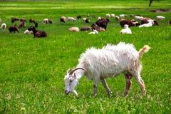The goat is grazed. Stock Photo