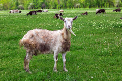 The goat is grazed. The white Goat is grazed on a lawn and looks in a shot Stock Image