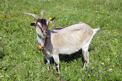 The goat grazes Stock Image
