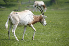 Goat grazes on green lawn Stock Image