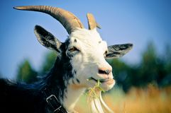 The goat that grazes in the meadow royalty free stock images
