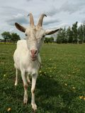 Goat on grazing Royalty Free Stock Photos