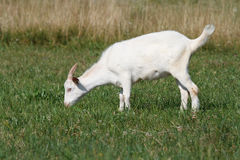 A goat grazing Royalty Free Stock Photo