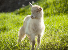 Free Goat Grazing Royalty Free Stock Images - 25888179
