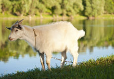 Goat grazing Royalty Free Stock Photos