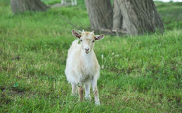 Goat grazing Royalty Free Stock Photography