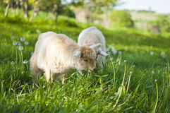 Goat grazing Royalty Free Stock Images