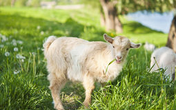 Goat grazing Stock Photography