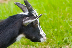 Goat grazing Stock Photos