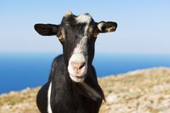 Goat grazing against the sea Stock Photo