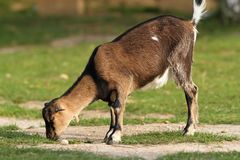 Goat grazing alone at the farm Stock Photo