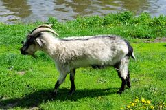 Goat grazing on the banks of the river royalty free stock photos