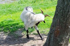Goat grazing on the banks of the river royalty free stock photography