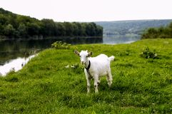 Goat grazing on the banks of the river stock photos