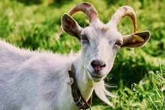 Goat grazing Stock Images