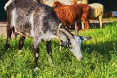 Goat grazing Stock Photos