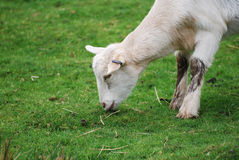 Goat grazing on a farm. Kid has a snack on the farm Royalty Free Stock Photos