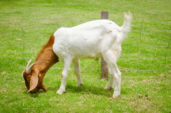 Goat grazing at the farm yard Royalty Free Stock Photo