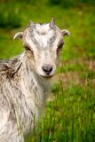 Goat grazing in a field Stock Images