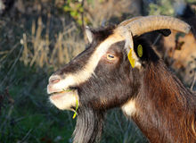 Goat grazing in the field, domestic and farm animals theme Royalty Free Stock Photos
