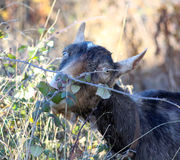 Goat grazing in the field, domestic and farm animals theme Stock Photo