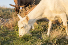 Goat grazing in the field with others in background Royalty Free Stock Photo