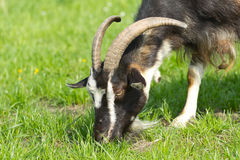 Goat grazing. On a green grass Royalty Free Stock Photo