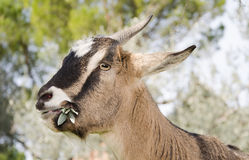 Goat grazing in the green grass Stock Image