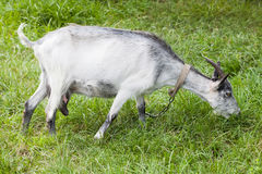 Goat grazing on a green meadow. Capra aegagrus hircus portrait at summer time Royalty Free Stock Photos