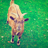 Goat. Grazing on Green Pasture in Belgium, Instagram Effect Royalty Free Stock Photo