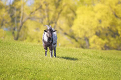 Goat grazing on a green pasture Stock Photos