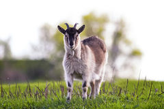 Goat grazing on a green pasture Royalty Free Stock Photos