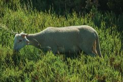 Goat grazing on green sward with bushes. In a rocky landscape, at the highlands of Serra da Estrela. The highest mountain range in continental Portugal, with stock images