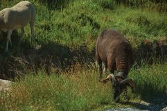 Goat grazing on green sward with bushes. In a rocky landscape, at the highlands of Serra da Estrela. The highest mountain range in continental Portugal, with royalty free stock photos