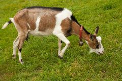Goat on the grazing land Royalty Free Stock Photography