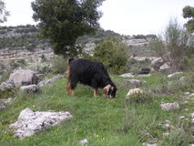 Goat Grazing in Lebanon. A goat has separated from the herd to graze alone Stock Images