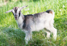 Goat grazing in the meadow Stock Photo