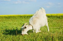 Goat grazing on a meadow Stock Photos