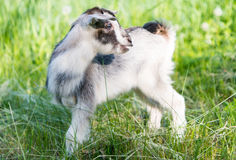 Goat grazing in the meadow Stock Photography