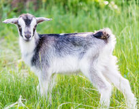 Goat grazing in meadow Stock Images